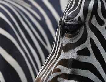 зебра своих сородичей
