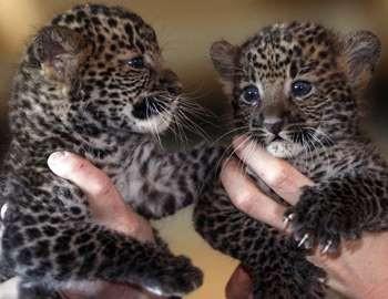малыши леопарды