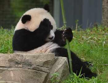 нападения панд на людей