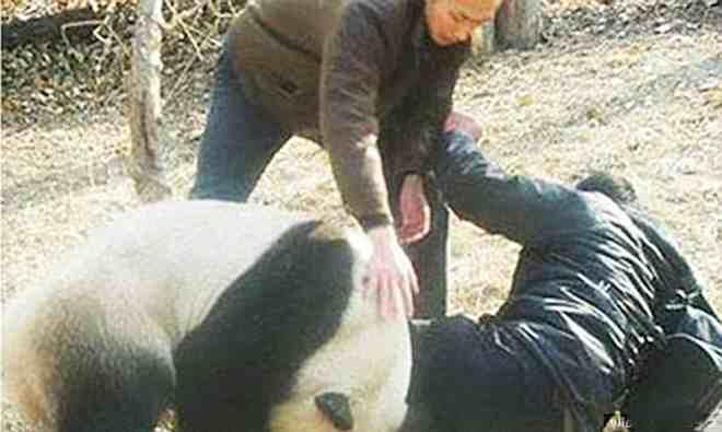панда набросилась на человека
