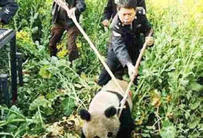 в панду тычат палками