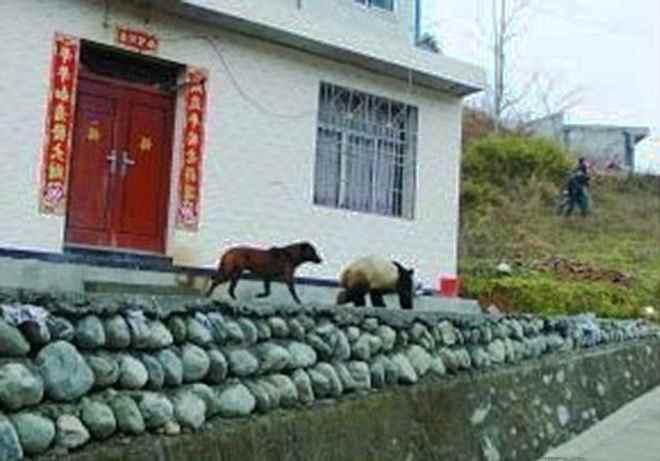 панда прогуливается по деревне