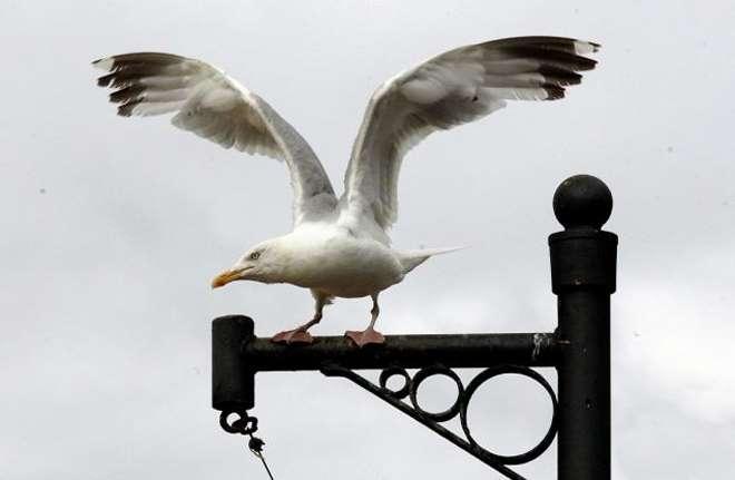 городская чайка