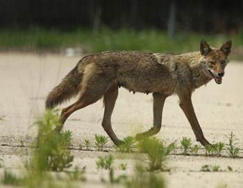 нападавшая самка койота
