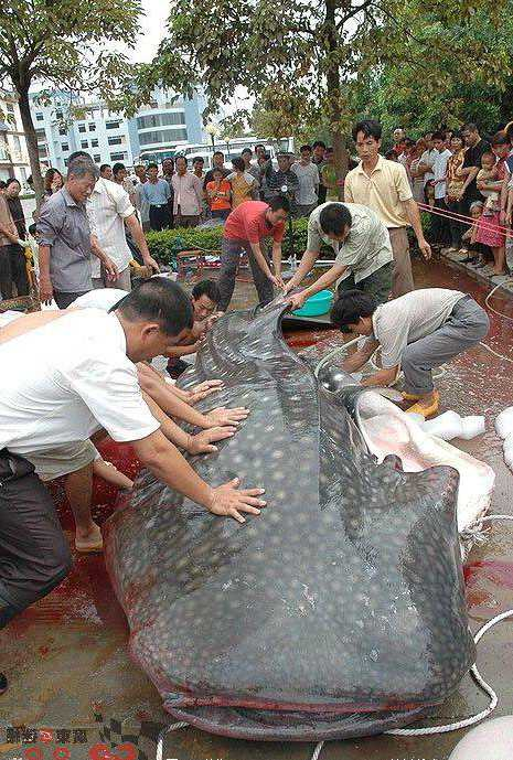 большая китовая акула