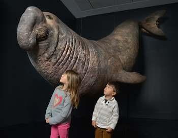 морской слон нападает на няряльщика