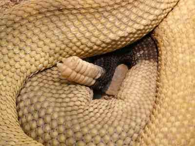 хвост гремучей змеи