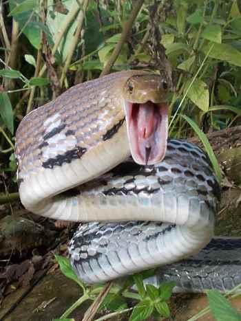 змея в стойке