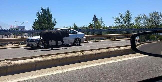 быка сбили на мосту