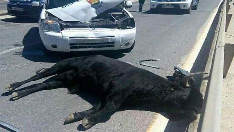 мертвый бык на дороге