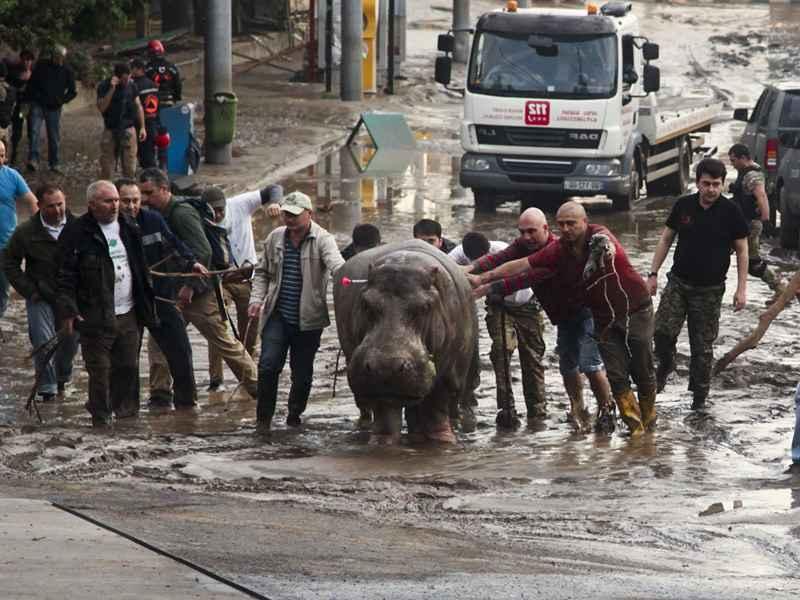 после наводнения в Грузии сбежал бегемот