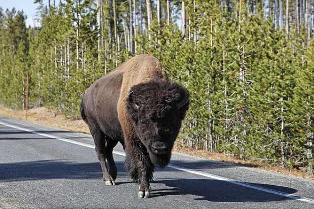 по дороге прогуливается бизон
