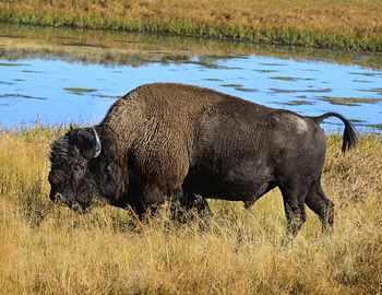 бизон подбросил рогами туриста