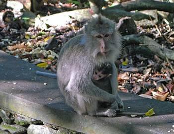 избежать нападения обезьяны