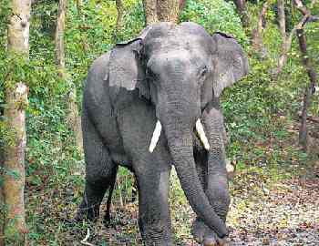 нападение слона в Шри-Ланке