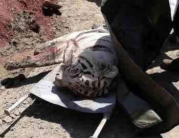 белый тигр напал в Тбилиси на мужчину