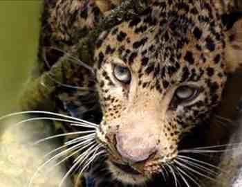 леопард нападает на человека в клетке