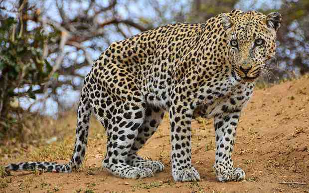 уставший леопард