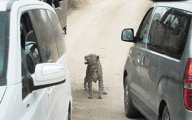 прогулка леопарда по дороге