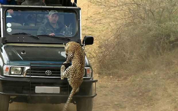 леопард залазит на аавтомобиль с пассажирами