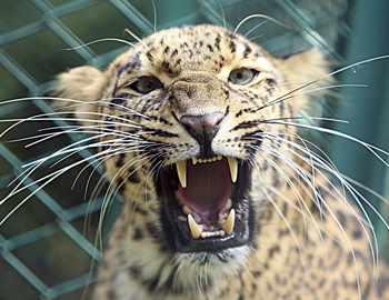леопард пробрался в индийскую школу