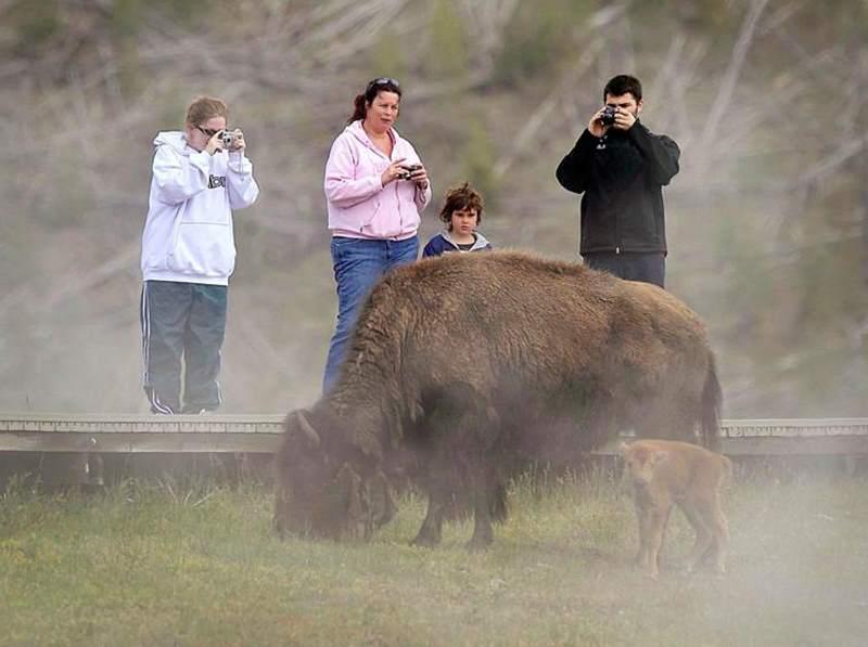 люди фотографируют бизона