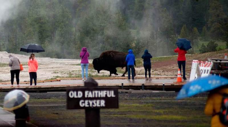 бизон бегает возле людей