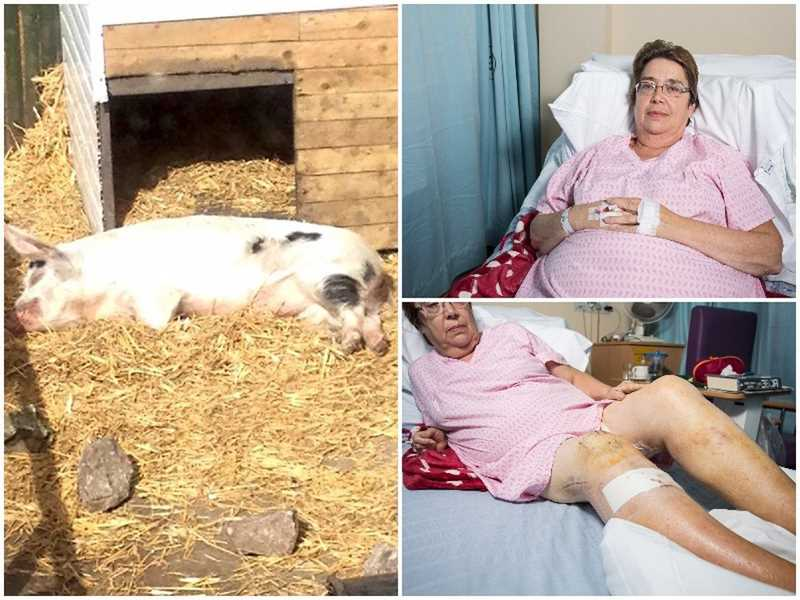 на женщину напала свинья