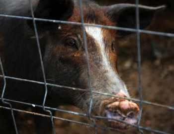 нападение свиньи