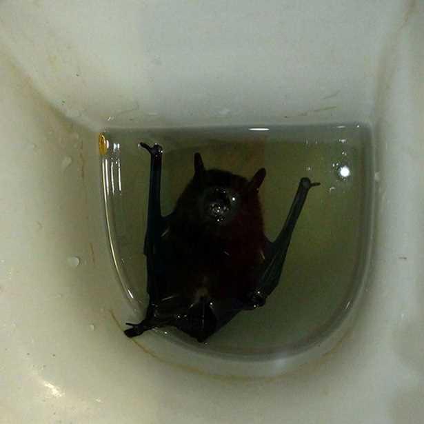 мышь упала в туалет