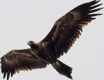 орел нападает на беспилотник