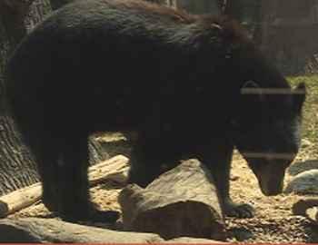 нападение медведя в США