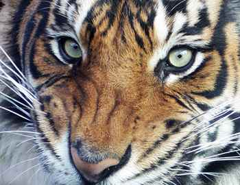 нападение тигра в Новой Зеландии