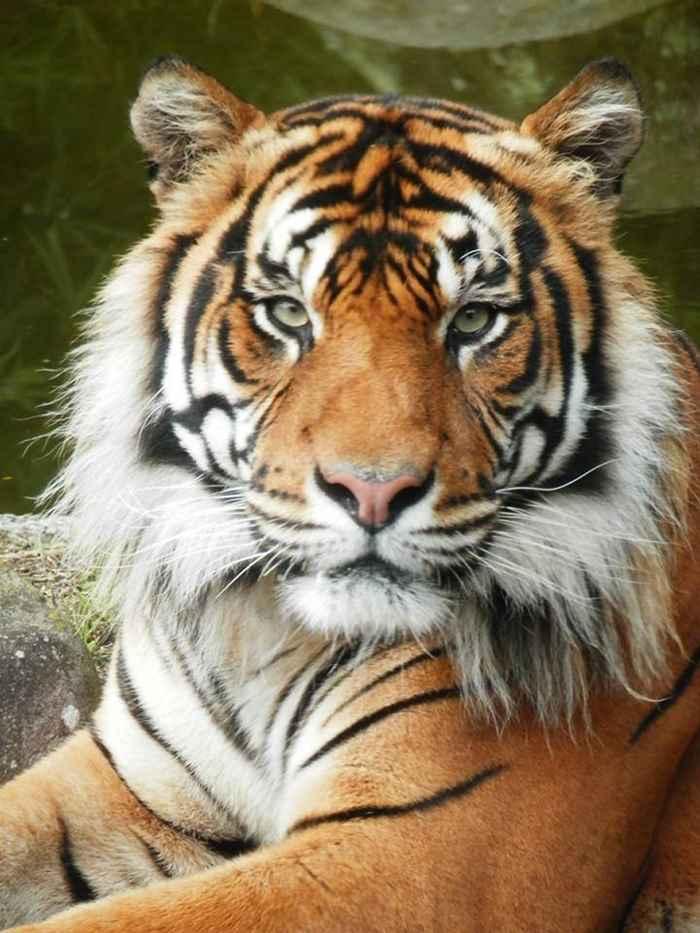 тигр Оз