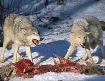 волки и их добыча