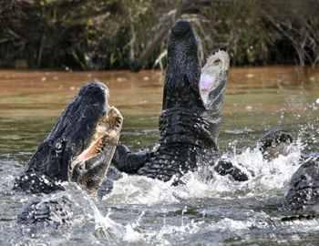 флоридские крокодилы