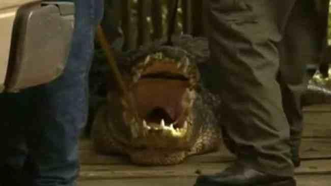 пойман крокодил во Флориде