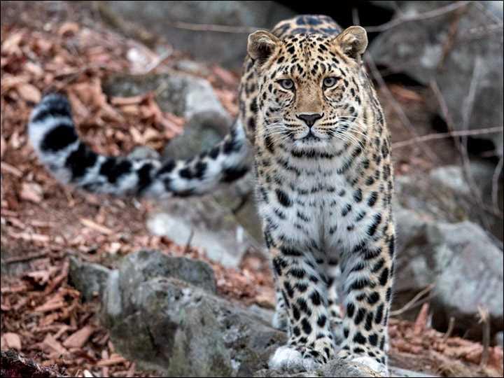 красивый амурский леопард