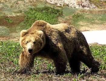 прогулка медведя в Хабаровске