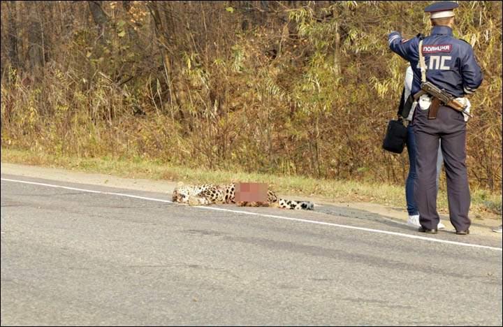 убит леопард