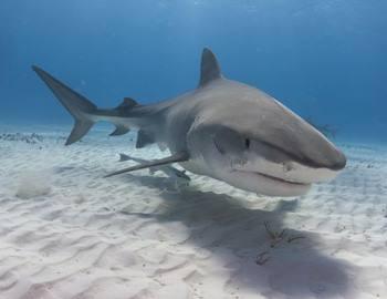 тигровая акула на Гавайях