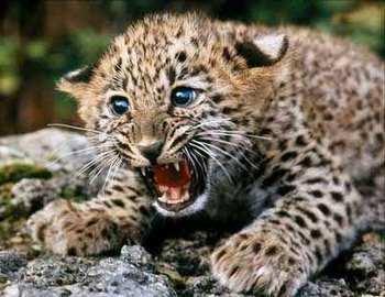 на девочку в Индии напал леопард