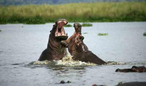 дерутся бегемоты
