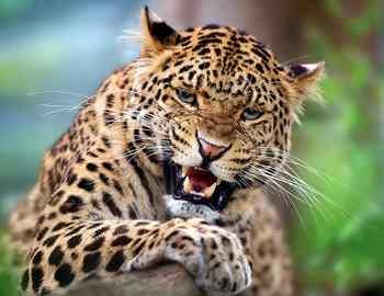 мужчина отбивается от леопарда