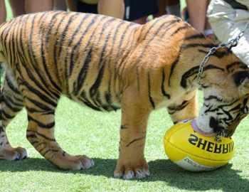 тигр с мячиком