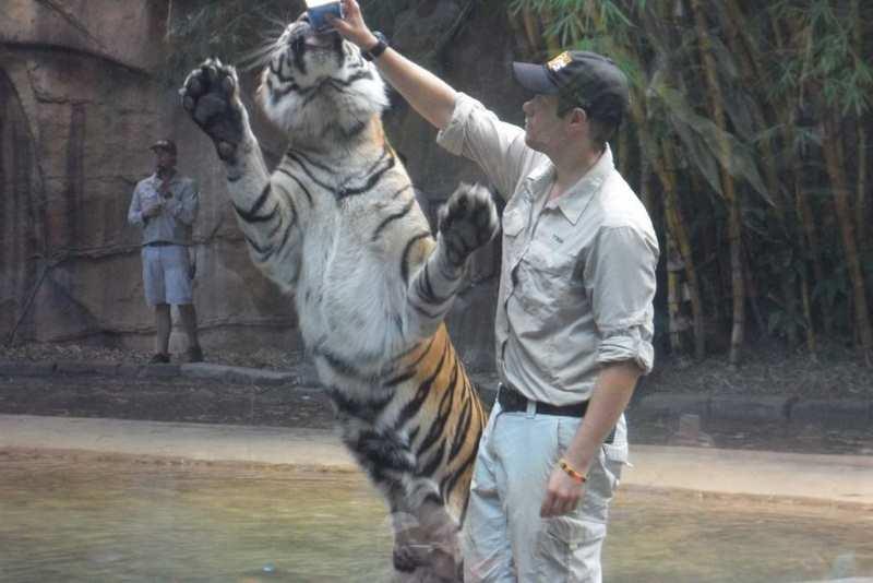 кормят тигра стоя