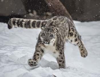 бегущий снежный барс