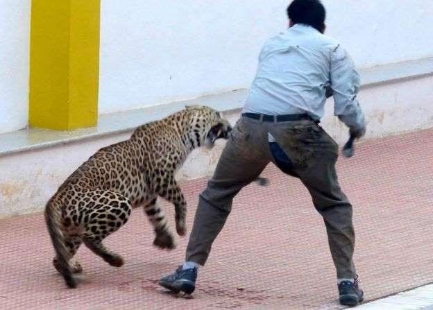 леопард кусает мужчину