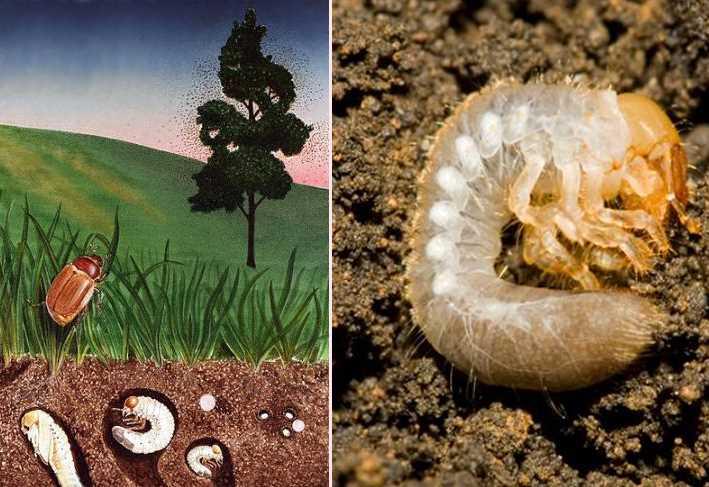 рост майского жука