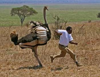 страус напал на мужчину